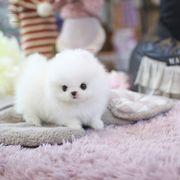 Teddy Pomeranian Puppy Boy
