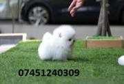 LOVE  Amazing Xx Pomeranian for sale
