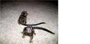 GFFG  adorable little Wonderful Pygmy Marmoset and Capuchin 0703195769