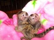 TYI6 adorable little Wonderful Pygmy Marmoset and Capuchin 07031957695