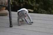 W4R adorable little Wonderful Pygmy Marmoset and Capuchin 07031957695