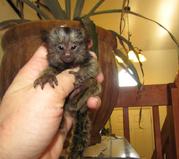 H443  adorable little Wonderful Pygmy Marmoset and Capuchin 0703195769