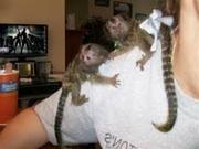 OP09 adorable little Wonderful Pygmy Marmoset and Capuchin 07031957695