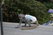 45 adorable little Wonderful Pygmy Marmoset and Capuchin 07031957695 s