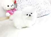 HJKEf Stunning XXS size tiny uncomplicated,  gentle,  Pomeranian For Sal
