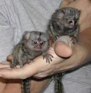 JJSFZDFDS Adorable Twin Pygmy Marmoset and Capuchin 07031957695