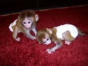 JD23 Adorable Twin Pygmy Marmoset and Capuchin 07031957695