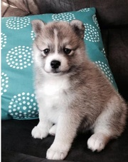, ZGKJK checked friendly,  and sociable Pomsky For Sale 07031957695