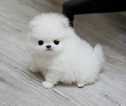 HGDS Stunning XXS size tiny uncomplicated,  gentle,  Pomeranian For Sale