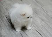 HJCXF Stunning XXS size tiny uncomplicated,  gentle,  Pomeranian For Sal