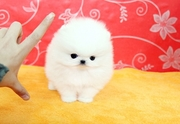 TRDF Stunning XXS size tiny uncomplicated,  gentle,  Pomeranian For Sale