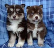 BVND checked friendly,  and sociable Pomsky For Sale 07031957695
