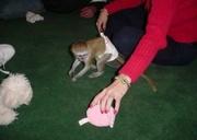 GFJ  Adorable Twin Pygmy Marmoset and Capuchin 07031957695
