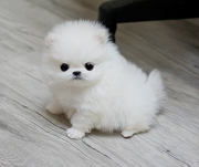 FHDF42 Stunning XXS size tiny uncomplicated,  gentle,  Pomeranian For Sa