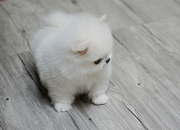 GFTRT Stunning XXS size tiny uncomplicated,  gentle,  Pomeranian For Sal