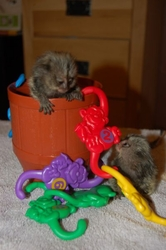 HTY Adorable Twin Pygmy Marmoset and Capuchin 07031957695