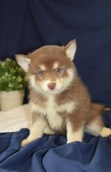 HGRT checked friendly,  and sociable Pomsky For Sale 07031957695