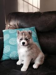 GFHER checked friendly,  and sociable Pomsky For Sale 07031957695