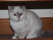 Ragamese Kittens Puppy for Sale