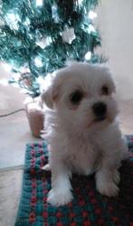 Maltzu (Maltese/Shih Tzu) Puppy for Sale