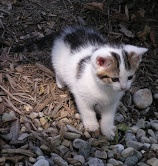Purebred Lilac Lynx Point Ragdoll Kitten