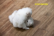 SDH males and females Pom available 07031964582