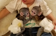 YEWAE males and females Capuchin pygmy marmoset available 07031964582