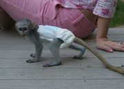 REU743 males and females Capuchin pygmy marmoset available 07031964582