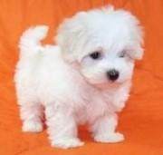 Cute loving Maltese  Puppies.